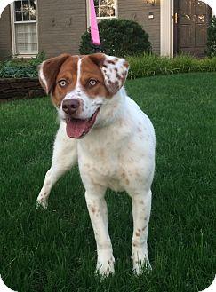 Brittany/Labrador Retriever Mix Dog for adoption in Brattleboro, Vermont - Belle