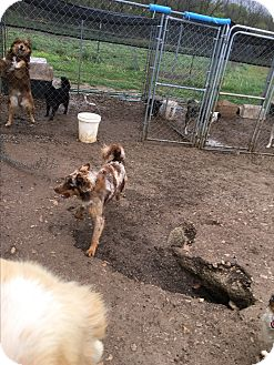 Australian Shepherd Mix Dog for adoption in Parker, Kansas - Ben