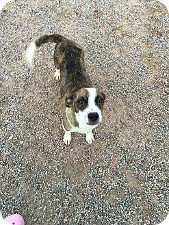 Beagle/Jack Russell Terrier Mix Dog for adoption in Chandler, Arizona - Sunny