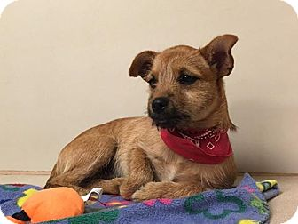 Chihuahua Mix Puppy for adoption in Snyder, Texas - Fred