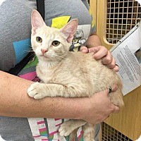 Domestic Shorthair Cat for adoption in Sunset, Louisiana - Bailey