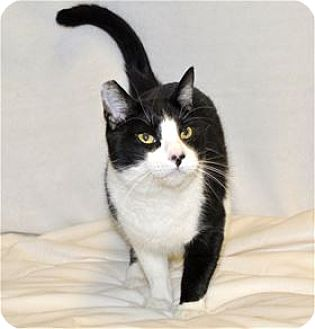 Domestic Shorthair Cat for adoption in Lincoln, California - James Bond