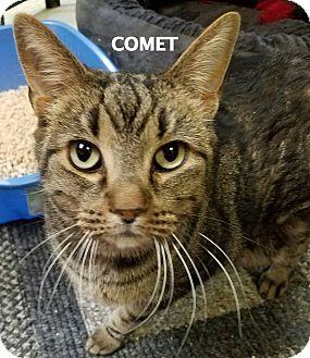 Domestic Shorthair Cat for adoption in Lapeer, Michigan - Comet