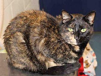 Domestic Mediumhair Cat for adoption in Hampton Bays, New York - EMILY