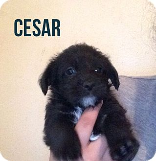 Maltese/Yorkie, Yorkshire Terrier Mix Puppy for adoption in Glendale, Arizona - CESAR