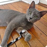 Adopt A Pet :: Cleo the Purr-fect Princess - Brooklyn, NY