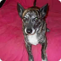 Dachshund/Corgi Mix Dog for adoption in Charlotte, North Carolina - Cocoa
