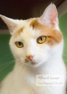 Domestic Shorthair/Domestic Shorthair Mix Cat for adoption in Blair, Wisconsin - Angel