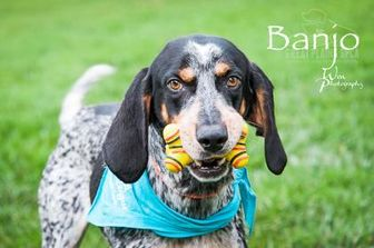 Bluetick Coonhound Mix Dog for adoption in Merriam, Kansas - Banjo