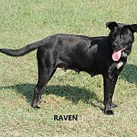 Adopt A Pet :: Raven - Washington, GA
