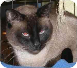 Siamese Cat for adoption in Lombard, Illinois - Bucky B. Katt