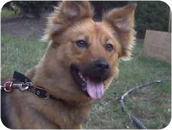 German Shepherd Dog/Shepherd (Unknown Type) Mix Dog for adoption in Berea, Ohio - Flicka-Courtesy post