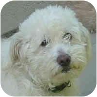 Bichon Frise Mix Dog for adoption in La Costa, California - Quincy