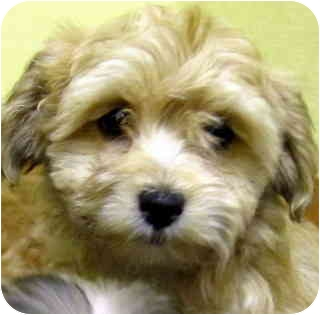 Poodle (Miniature)/Terrier (Unknown Type, Small) Mix Puppy for adoption in Los Angeles, California - Taffy