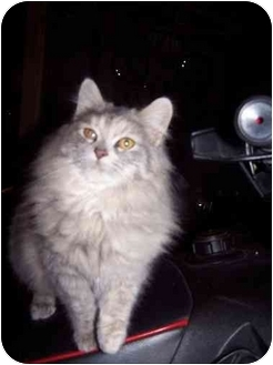 Domestic Longhair Kitten for adoption in Mt. Pleasant, Michigan - Isabella