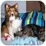 Photo 2 - Sheltie, Shetland Sheepdog Dog for adoption in La Habra, California - Mark