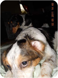 """Beagle/Collie Mix Puppy for adoption in Conway, New Hampshire - Chariss""""chrissy"""" Cricket"""