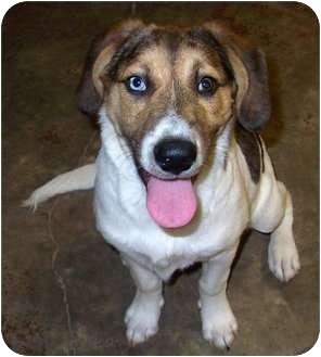 Beagle Mix Puppy for adoption in FOSTER, Rhode Island - Pinnix