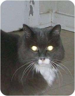 Domestic Longhair Cat for adoption in Metairie, Louisiana - Velvet