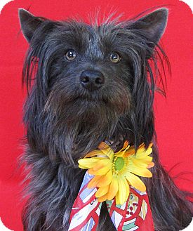 Chinese Crested/Silky Terrier Mix Dog for adoption in Irvine, California - Lovely Lucy