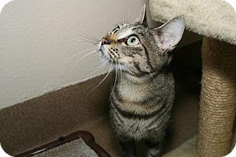 Domestic Shorthair Cat for adoption in Coronado, California - Dawn