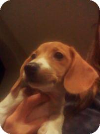 Beagle Mix Puppy for adoption in Phoenix, Arizona - Noelle