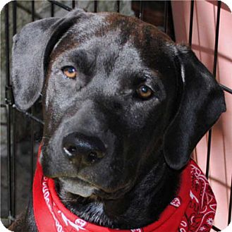Labrador Retriever/Basset Hound Mix Puppy for adoption in Weatherford, Texas - Buster