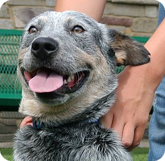 Blue Heeler Mix Dog for adoption in white settlment, Texas - Devin