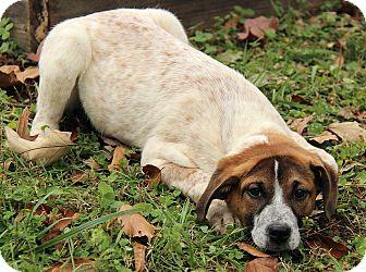 Mastiff/Australian Cattle Dog Mix Puppy for adoption in Spring Valley, New York - Milly
