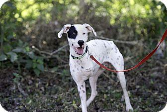 Dalmatian/Labrador Retriever Mix Dog for adoption in Nanaimo, British Columbia - Checkers