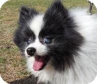 Pomeranian Dog for adoption in Madison, Wisconsin - Hachi