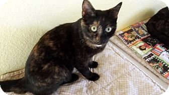 American Shorthair Cat for adoption in Englewood, Florida - Mollie