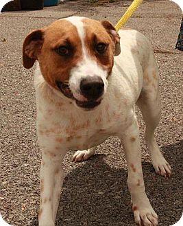 Australian Cattle Dog/Labrador Retriever Mix Dog for adoption in Washington, D.C. - Bernard ($150 Adoption Fee!)