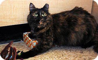Domestic Mediumhair Cat for adoption in Chandler, Arizona - Amelia