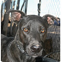 Pit Bull Terrier Mix Dog for adoption in Las Cruces, New Mexico - Gator