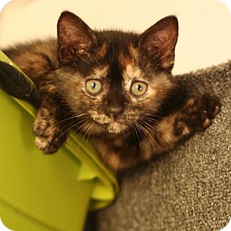 Domestic Shorthair Kitten for adoption in McCormick, South Carolina - Bianca