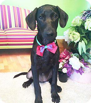 Labrador Retriever Mix Puppy for adoption in Castro Valley, California - Ebony