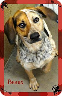 Australian Cattle Dog/Blue Heeler Mix Dog for adoption in Benton, Arkansas - Beaux