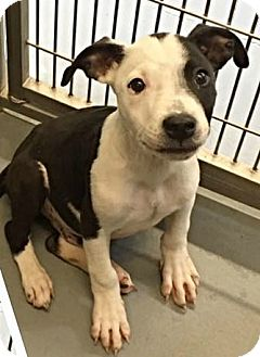Pit Bull Terrier Mix Puppy for adoption in Enid, Oklahoma - Rex (Pen 7)
