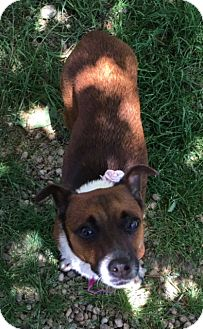 Jack Russell Terrier Mix Dog for adoption in Philadelphia, Pennsylvania - Ronnie