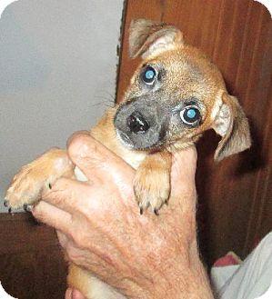 Pomeranian/Chihuahua Mix Puppy for adoption in Waldron, Arkansas - MAMIE E. BARKLEY