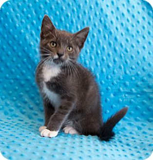 Domestic Shorthair Kitten for adoption in Tallahassee, Florida - Teeny
