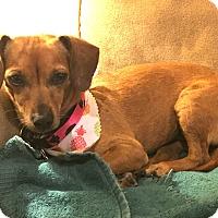 Adopt A Pet :: Sicily - 2 yr, 11 lbs, Doxie - Los Angeles, CA