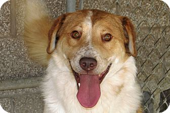 Harrier/Retriever (Unknown Type) Mix Dog for adoption in Ruidoso, New Mexico - Queso