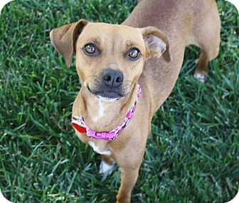 Dachshund/Terrier (Unknown Type, Small) Mix Dog for adoption in Yorba Linda, California - Phoebe - 15 lbs!