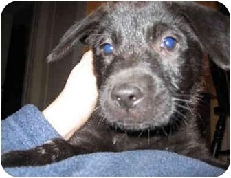 Labrador Retriever Mix Puppy for adoption in Overland Park, Kansas - Leo