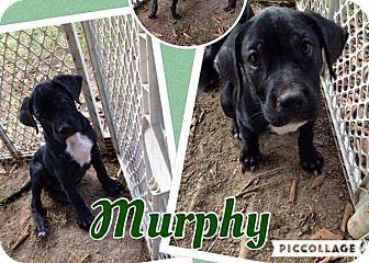 Labrador Retriever Mix Puppy for adoption in Lexington, North Carolina - Murphy