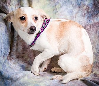 Chihuahua/Maltese Mix Dog for adoption in Anna, Illinois - PEDRO