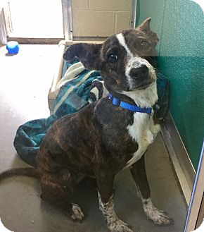 Terrier (Unknown Type, Medium)/Cattle Dog Mix Dog for adoption in Wilmington, Delaware - Baby