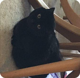 Domestic Shorthair Cat for adoption in Carlisle, Pennsylvania - BlackieCP